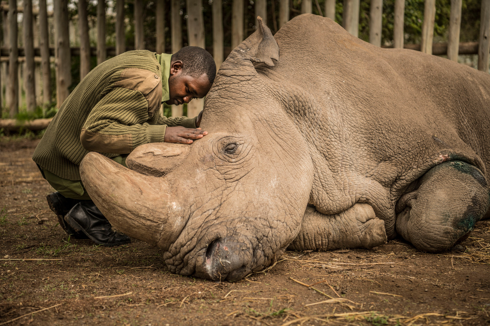 Joseph Wachira comforts Sudan, a northern white rhino, moments before he died Monday at the Ol Pejeta Conservancy in Kenya.