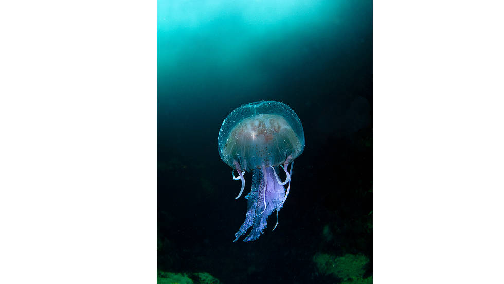 "COAST AND MARINE/OVERALL WINNER: ""Jellyfish in the Blue Sea of Sula Sgeir"" by Richard Shucksmith"