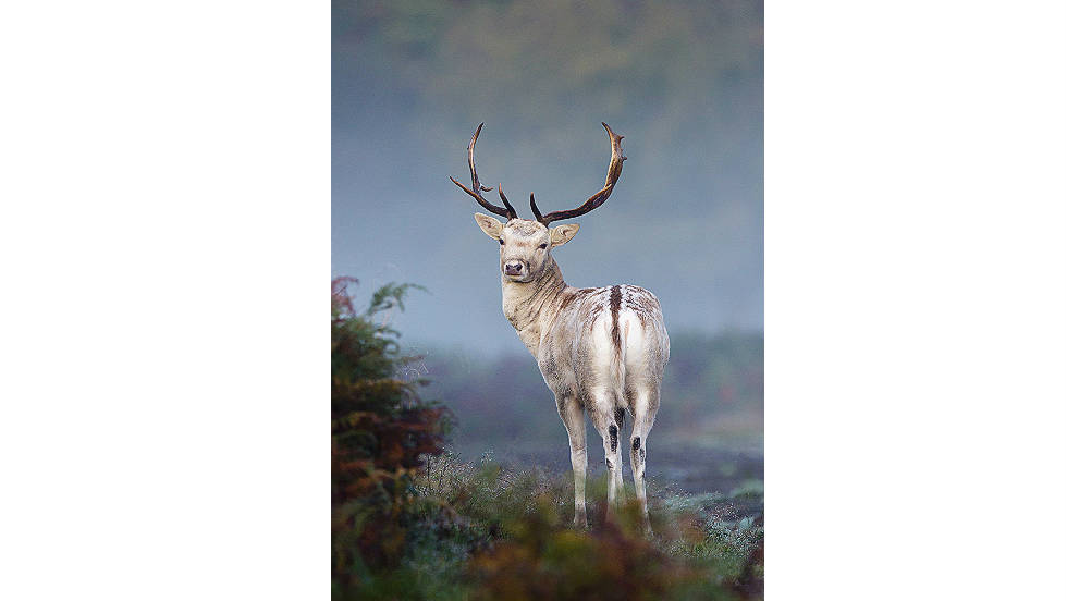 "ANIMAL PORTRAITS: ""Mystical Mist, Fallow Deer"" by Mark Smith"