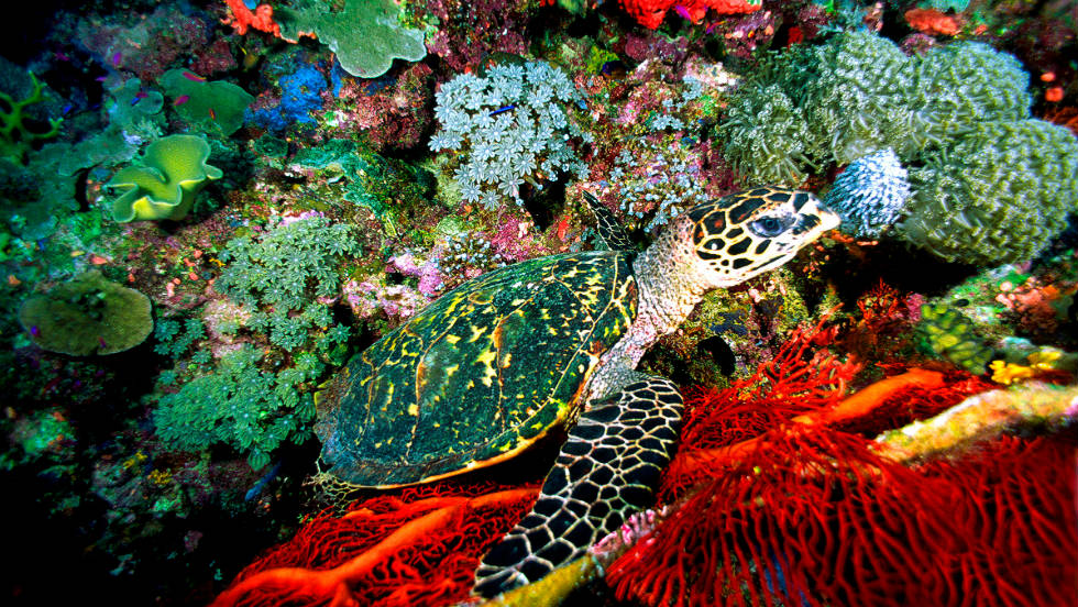 Hawksbill turtles nesting is limited to Australia and currently have a healthy population
