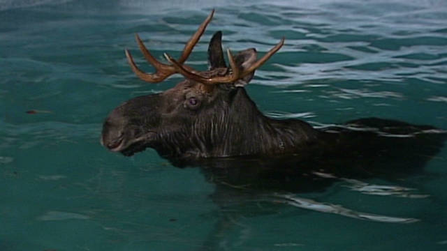 vo moose stuck in pool_00000701