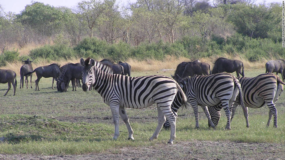 """The zebra and the wildebeest, they are friends,"" said safari guide Kgotla ""Balepi"" Mokwami."