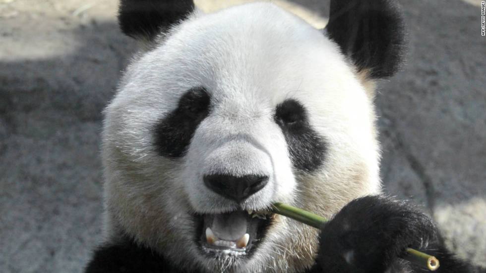 Report: Panda may have faked pregnancy for more buns, bamboo