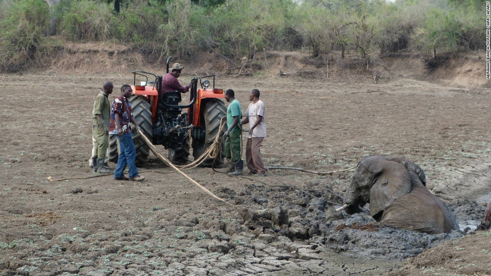 The weight and size of the adult elephant posed a greater problem. A tractor was brought in, in order  to extract her from the mud.