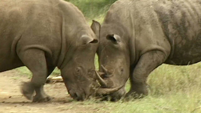 Relocating rhinos to save the species