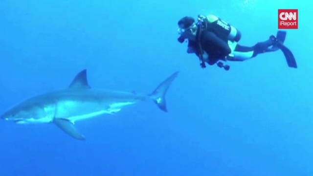 irpt great white shark diving_00025121