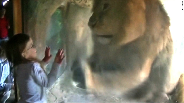 A young girl has a close encounter with a lion at a New Zealand zoo.