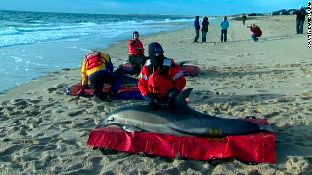 Between 40 and 50 dolphins have been found stranded close to shore near Cape Cod since Thursday.