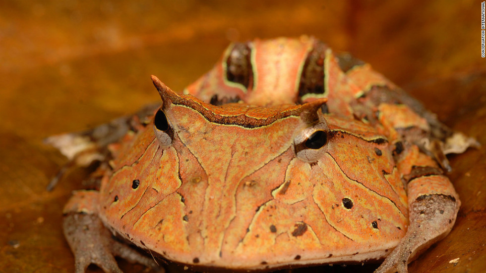 "The ""Pac-Man Frog"" is a sit-and-wait predator that can swallow mice and other frogs."