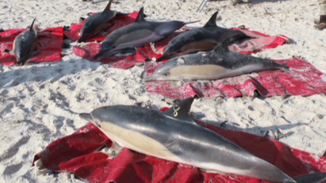 About 160 common dolphins have been found stranded on Cape Cod since early January.