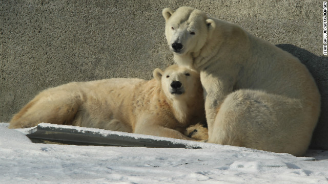 Polar bears cuddle while standing on ice in their outdoor enclosure at the Berlin Zoo on February 6, 2012 in Berlin, Germany.