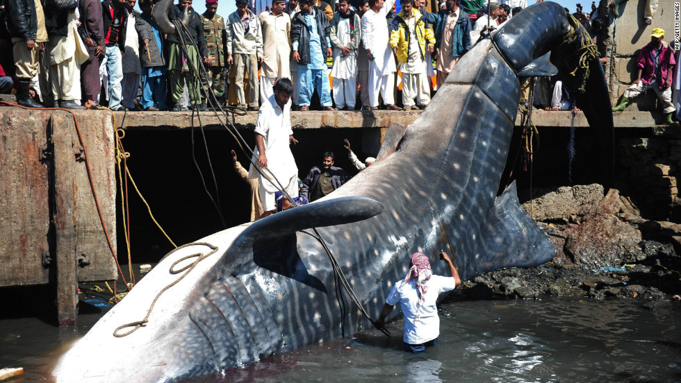 Pakistani fishermen use cranes to pull the carcass of a whale shark from the waters at a fish harbour in Karachi.