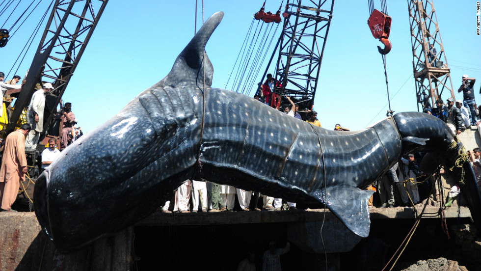 The 40-foot whale shark, weighing about 7,000 kilograms, was found dead in the  Arabian Sea.