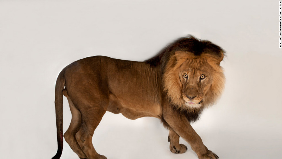 Joel Sartore, who snapped this photo of an African lion, is on a quest to document as many animal species as possible, before some disappear forever.