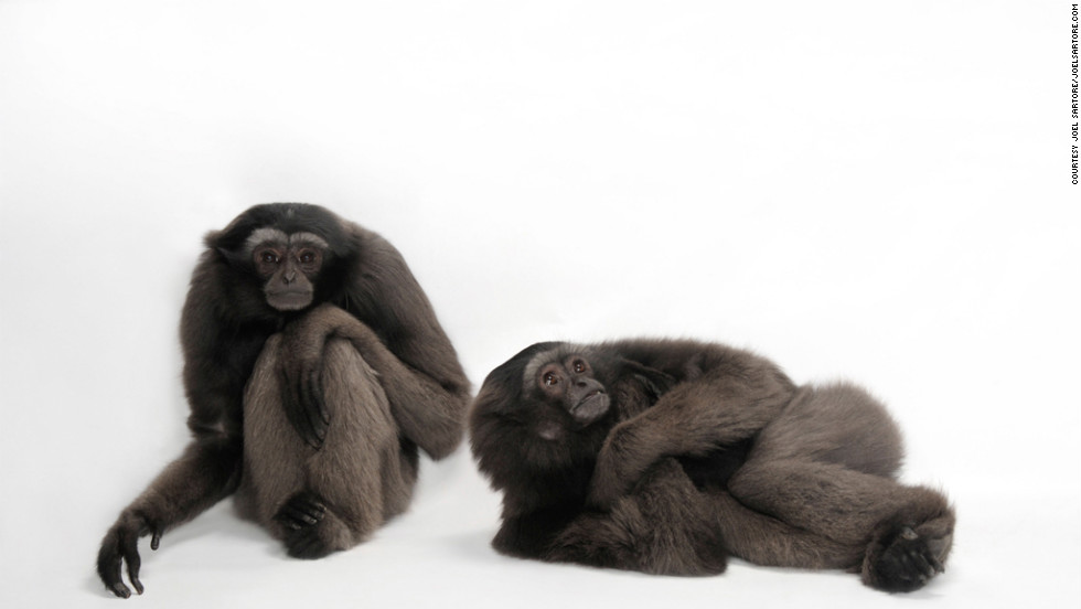 """With the gray gibbon, there's only about 28 in captivity worldwide,"" says Sartore. ""If there's not enough in captivity to keep the genetic lines going, they can't get any more from the wild, so the zoos are going to phase out these gibbons, and that means letting it go to extinction."""
