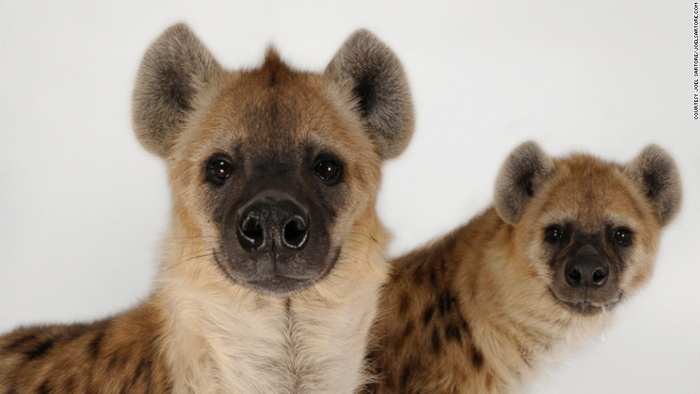 """I would say I'm one of the few portrait photographers in the country in which my subjects routinely poop and pee right on my background, right in the open,"" he says, offering these hyenas as an example."