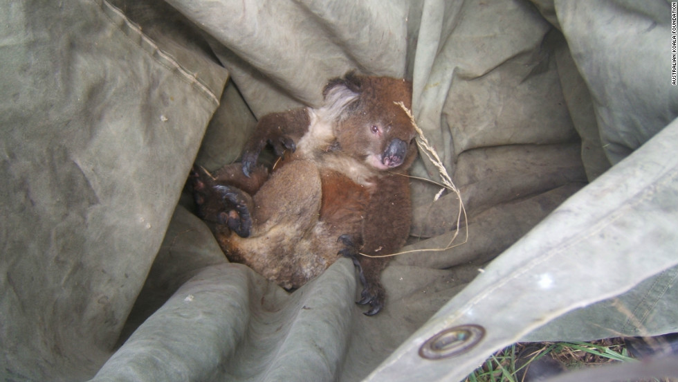 A koala is trapped in a tarpaulin after being rescued from a bushfire in Australia. Bushfires are forecast to become more prevalent in the country due to climate change.