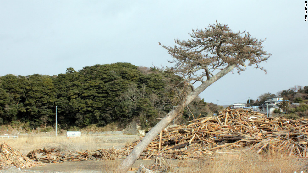A tree on the coast of Katsurashima bent by the force of the tsunami.