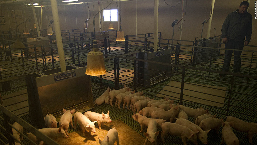 "Tofteland inspects young pigs at one of his hog barns outside Luverne, Minnesota. The stench of a hog barn, he says, pales in comparison to the stench of MF Global executives: ""Our money was stolen and nobody is being held accountable."""