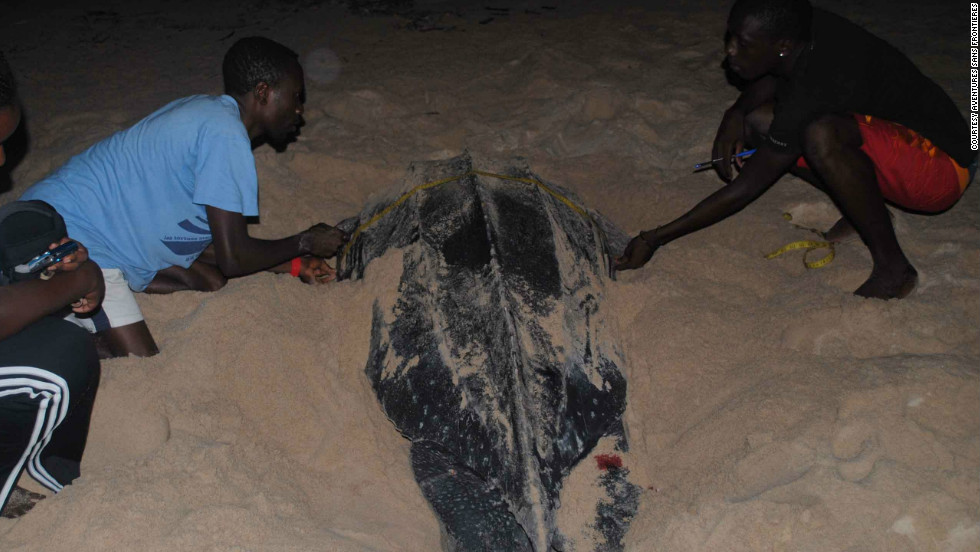 Aventures Sans Frontieres staff in Gabon measure a leatherback.