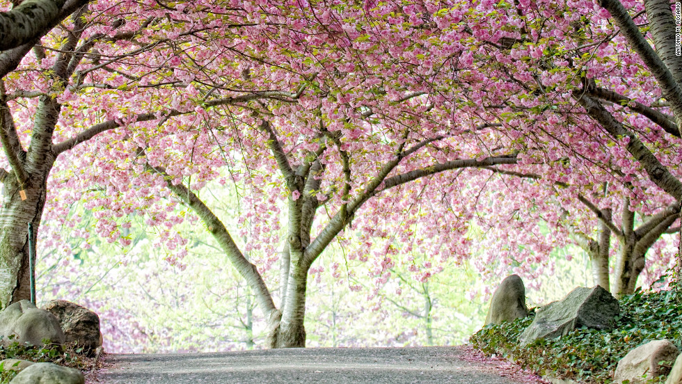 cherry blossom festivals a rite of spring cnn travel - Japanese Garden Cherry Blossom Paintings