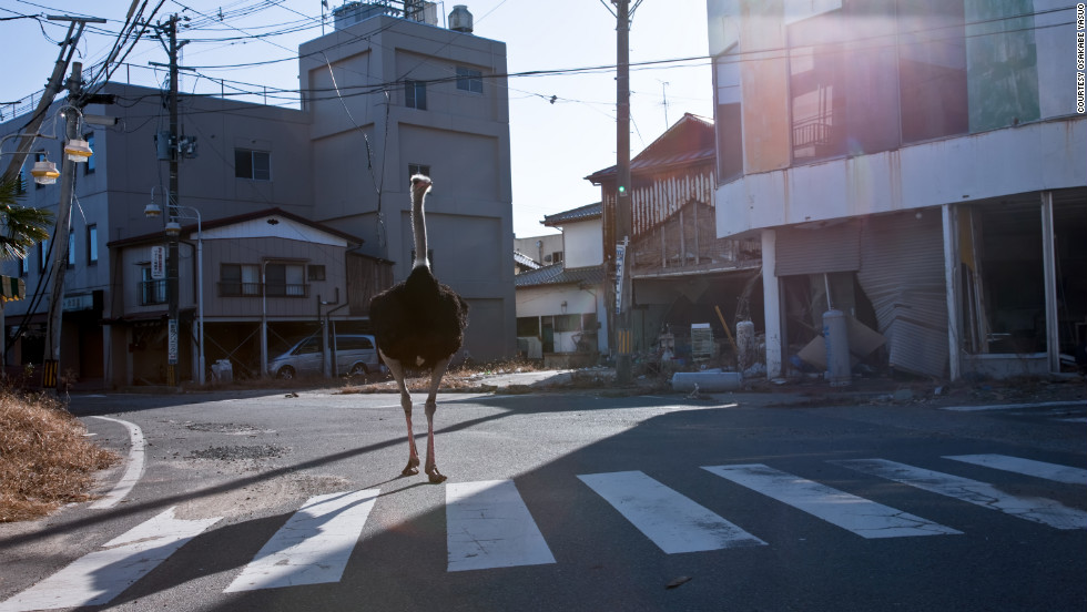 "Tokyo-based photographer Osakabe Yasuo recently visited the Fukushima exclusion zone and saw animals, such as this ostrich, wandering the streets. ""It still seems like March 11 down there,"" he said."