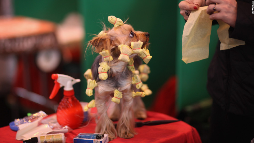 A Yorkshire terrier has its hair done on a grooming table before competing Thursday.