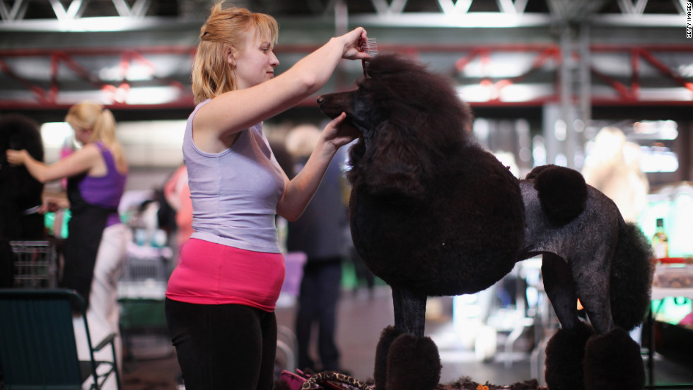 Linzi Johnson trims her standard poodle Pheope ahead of Thursday's competition.
