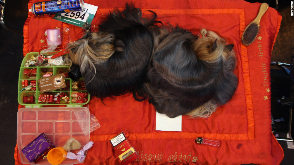 Two terriers sleep on a grooming table backstage at Crufts.