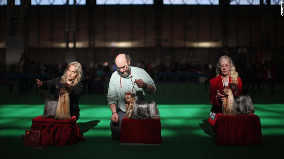 Yorkshire terrier owners show their dogs in the ring on day one of the competition.