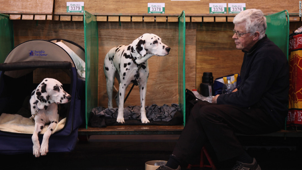 Dalmatians wait in their kennels backstage on Thursday.