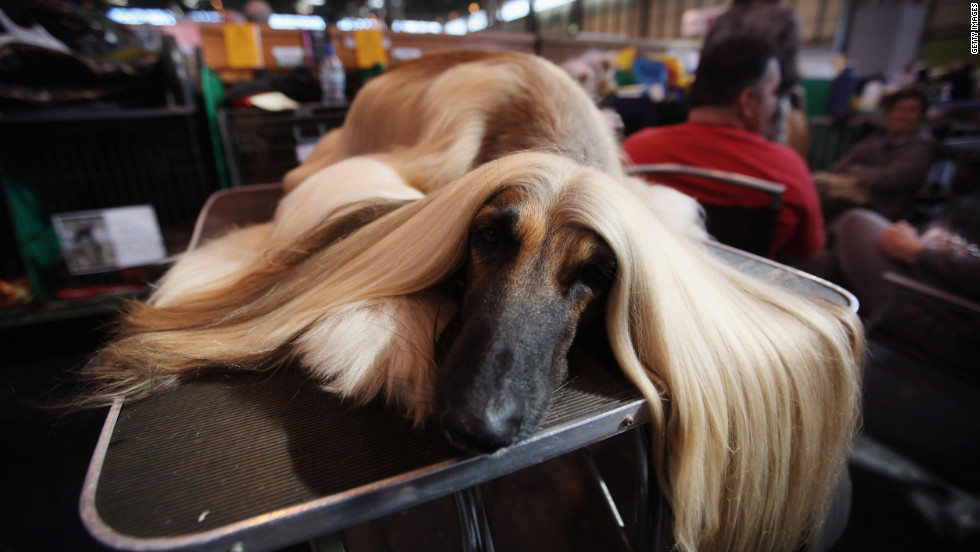An Afghan hound lies on a grooming table on the final day of the competition.