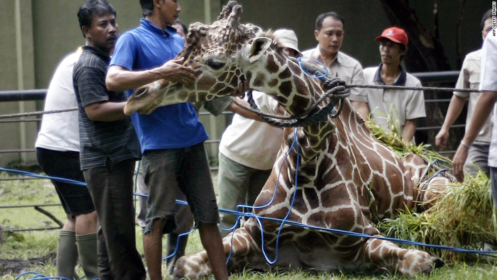 "Indonesian zoo staff tend to ""Kliwon,"" a 30-year-old giraffe on March 1, 2012, who later died. An autopsy showed the adult male had swallowed 18 kilograms, or 40 pounds, of plastic, mainly food wrappings."