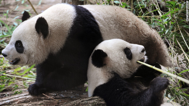 Two chinese pandas are seen in their enclosure at Beauval zoo in Saint-Aignan central-western France, on January 17, 2012.