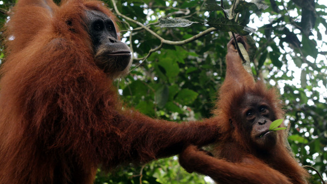 Orangutan feces analyzed  in Malaysia found the animals could be 'stressed'