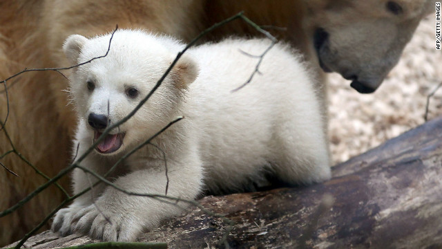 Polar bear cub Anori explores the enclosure at the zoo in Wuppertal, Germany.