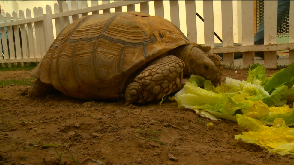 A 75-year-old tortoise at Dubai Animal Rescue Center. Founder Ayesha Kelaif says these tortoises live to 150, so she says you have to plan ahead when you buy an animal.