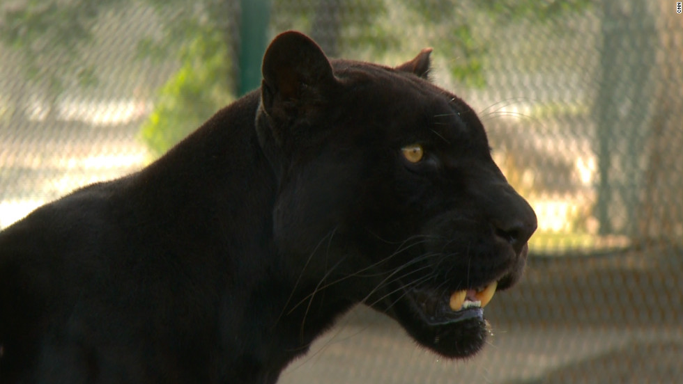 A black jaguar at Abu Dhabi Wildlife Center, where most confiscated pets are looked after.