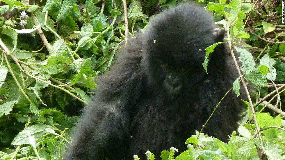 A baby mountain gorilla. The world's largest mountain gorilla population is found in a mountainous region known as the Virungas, incorporating Volcanoes, Uganda's Mgahinga Gorilla National Park, and Virunga National Park in the Democratic Republic of Congo.