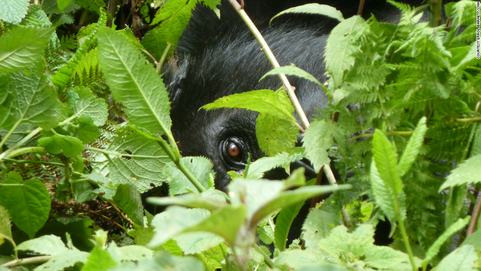 A gorilla concealed beneath the foliage. Mountain gorillas will tolerate humans coming much closer to them than their lowland cousins do.