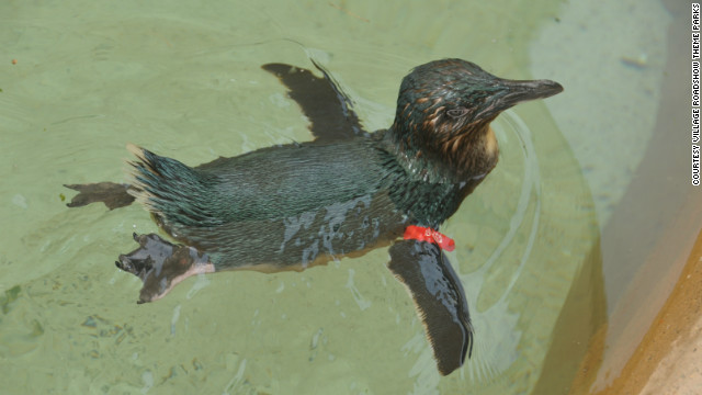 Dirk, a fairy penguin, is back at Australia's Sea World after being stolen this past weekend.