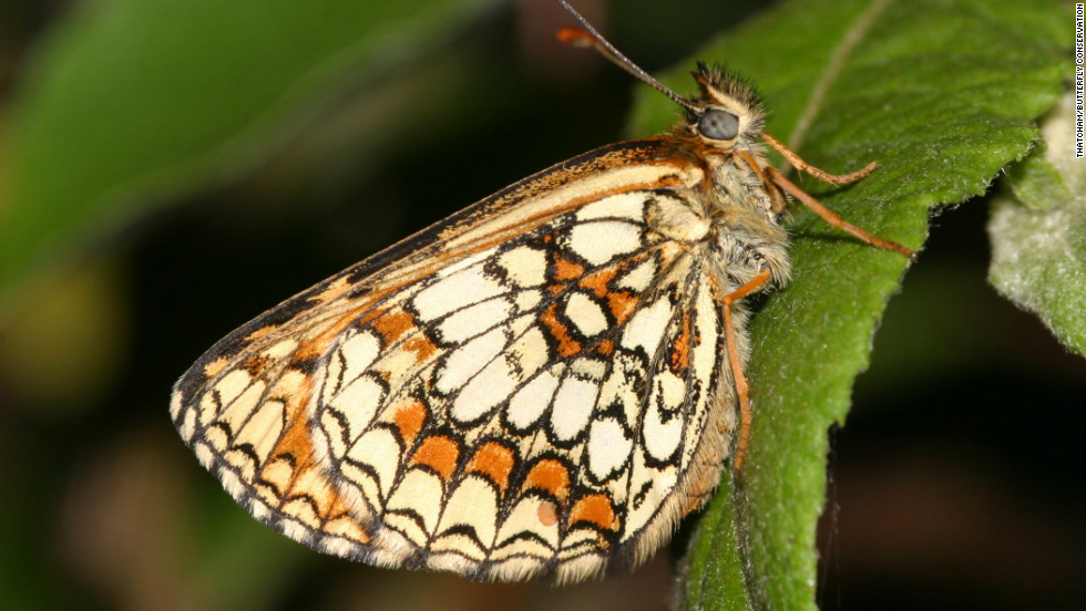 There were only 12 small colonies of the rare butterfly remaining in 1995 but that figure has now risen to 25, says Dr Martin Warren of Butterfly Conservation.