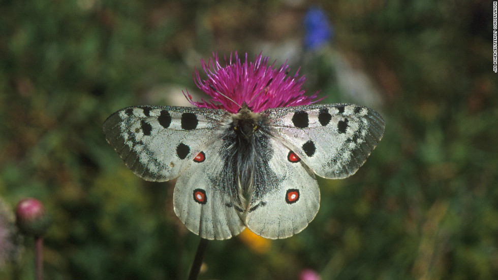 Endangered European butterfly species, such as the Apollo (pictured), could also benefit from similar habitat conservation projects, says Warren.