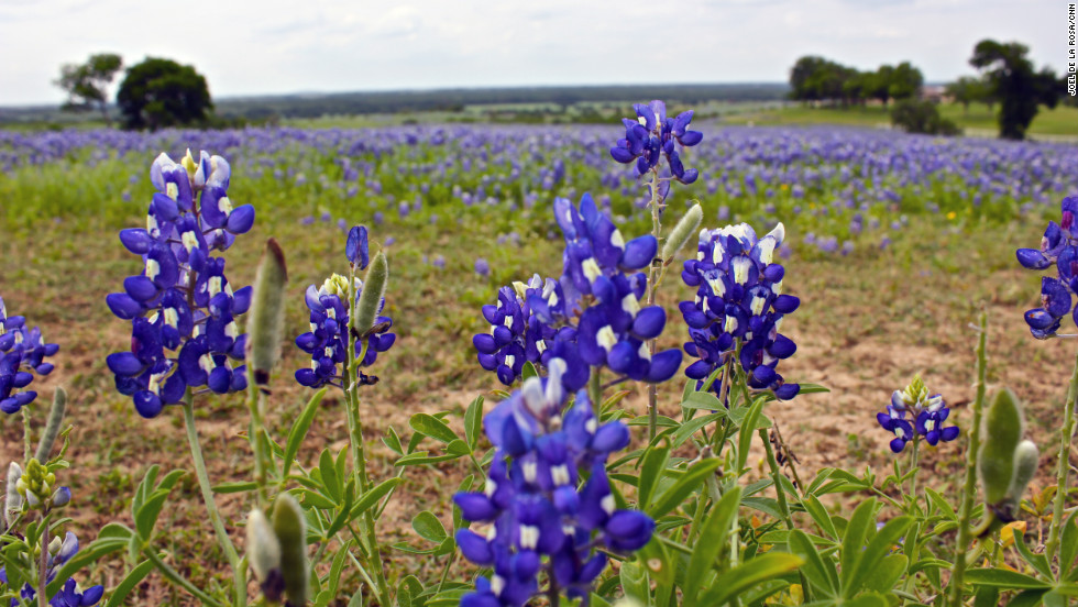 Every year people from all over the state and around the world come to see these wildflowers in full bloom.