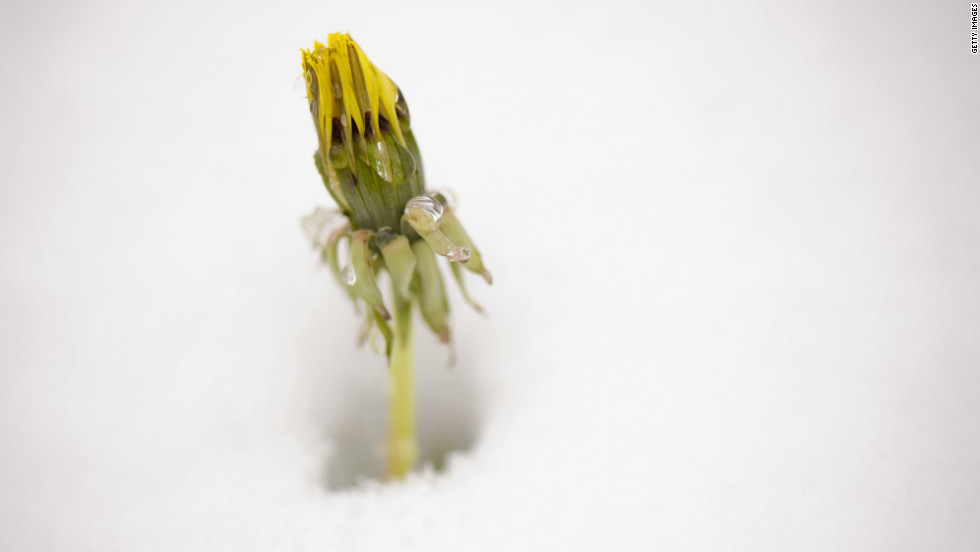 A dandelion waits for the spring weather to return in Somerset. The snowstorm follows a mild winter and the warmest March on record.