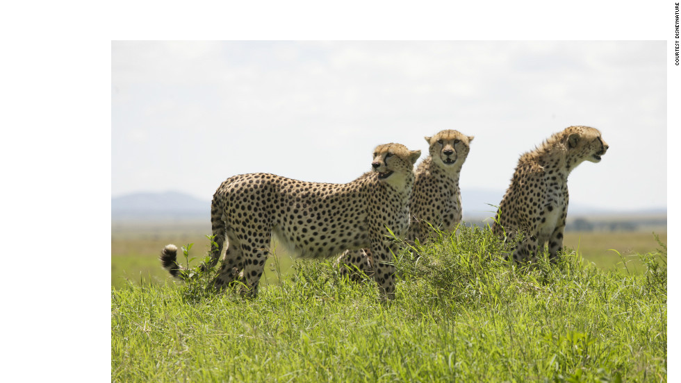 A trio of grown cheetahs. Cheetahs regularly lose their kills to lions and hyenas, and eat very quickly to try to avoid this, consuming up to 30 pounds of meat in a single sitting. Once they have eaten, they can survive for up to five days without more food.