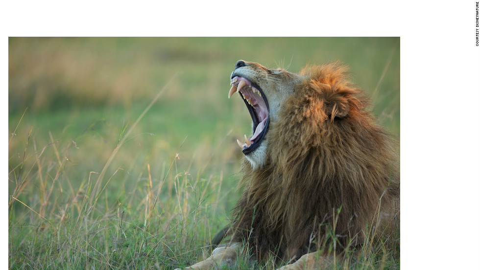 The lion's roar can be heard up to 5 miles away, and is used to mark out territory, scare off rivals and strengthen group bonds.