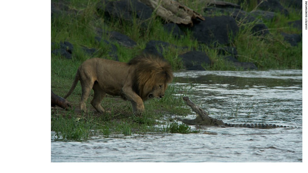 A lion faces off with a crocodile. An apex predator, lions eat a broad range of hoofed mammals, including zebras, antelopes, gazelles, wildebeest, warthogs, giraffes and buffalo -- even rhinoceroses, hippopotamuses and elephants on occasion. They also eat smaller animals, often scavenging their food from cheetahs or wild dogs.