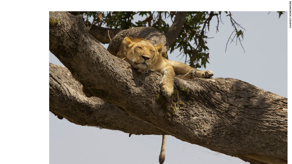 A lioness rests in a tree. Each has a distinctive combination of whisker spots that can be used to identify individual members of a pride.