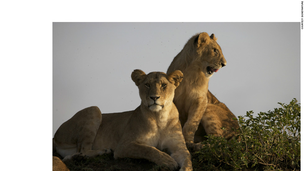 Two lionesses at rest. Researchers say that evidence suggests female lions prefer to mate with partners with black manes.